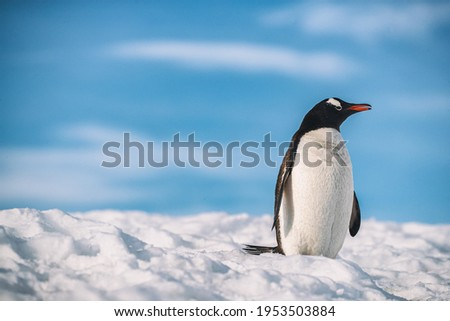 A penguin walks in Antarctica