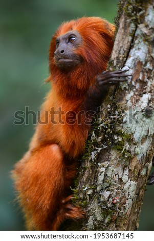 An endangered Golden lion tamarin (Leontopithecus rosalia) perched on a tree in one of the few remaining patches of Atlantic rainforest where they survive, Silva Jardim, Rio de Janeiro state, Brazil Royalty-Free Stock Photo #1953687145