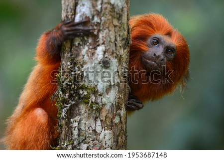 An endangered Golden lion tamarin (Leontopithecus rosalia) perched on a tree in one of the few remaining patches of Atlantic rainforest where they survive, Silva Jardim, Rio de Janeiro state, Brazil Royalty-Free Stock Photo #1953687148