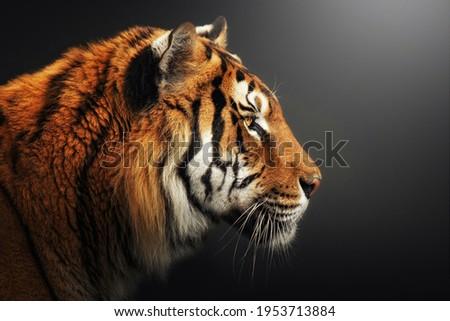 Profile portrait of Bengal tiger, Panthera tigris tigris, isolated on gray-black background Royalty-Free Stock Photo #1953713884