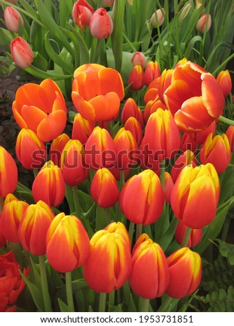 macro photo with a decorative background of beautiful spring flowers of a bulbous tulip plant with red petals with a yellow border for design as a source for prints, posters, decor, wallpaper