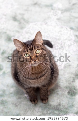 Fat handsome cat. Large purebred cat. Big beautiful striped cat sitting on carpet Royalty-Free Stock Photo #1953994573