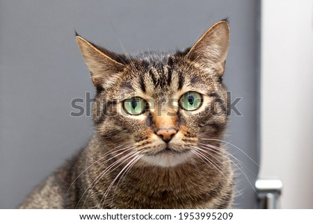 A large striped purebred cat looks into the camera. Fat beautiful cat with a surprised look. Royalty-Free Stock Photo #1953995209