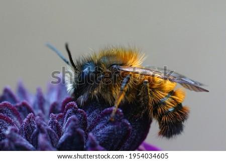 Closeup of a cute and hairy male Osmia rufa on a purple flower