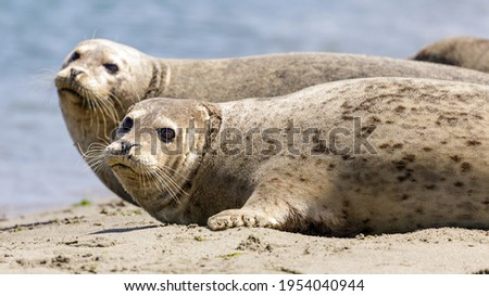 Alert Harbor Seals looking at camera sensing danger and ready to jump into water. Moss Landing, Monterey County, California, USA. Royalty-Free Stock Photo #1954040944