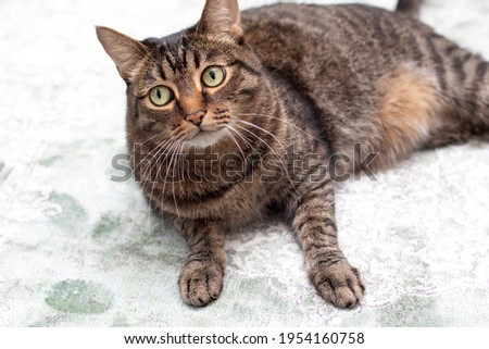 A large striped purebred cat looks into the camera. A large striped thoroughbred cat looks discontentedly into the camera. Royalty-Free Stock Photo #1954160758