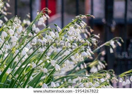 Summer snowflakes (leucojum aestivum) flower blossoms in spring. Close up.