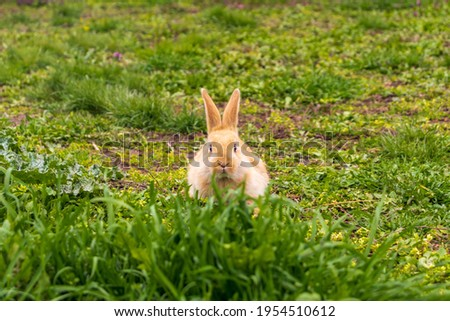 a small rabbit with a white - brown color sits in the green grass. Beautiful picture, background image, cover, calendar . Summer photo of a rabbit