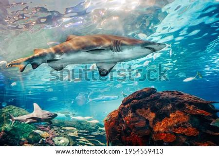 Giant scary sharks under water in aquarium. Sea ocean marine wildlife predators dangerous animals swimming in blue water. Underwater sea life. Water nature fauna background wallpaper.  Royalty-Free Stock Photo #1954559413