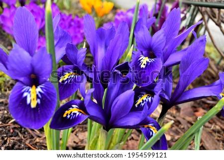 Iris reticulata Harmony - dwarf irises closeup, a bunch of deep blue flowers, pollen on petals is visible.
