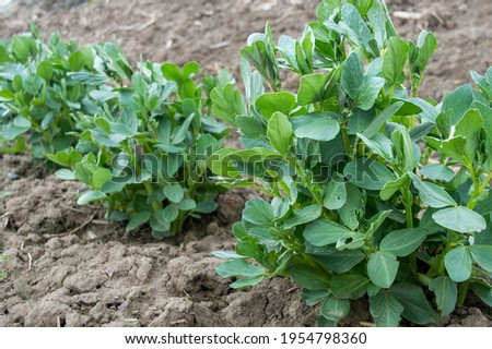 Broad Bean Imperial green Longood growing in the field.organic farm broad beans in the soil.broad beans on a garden bed.organically cultivated broad beans plantation in the vegetable garden Royalty-Free Stock Photo #1954798360