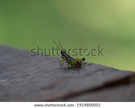Closeup detail selective focus of grasshopper insect in Amazon rainforest jungle Sauce lagoon Tarapoto Peru South America