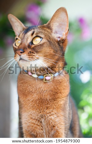 Portrait of an Abyssinian cat  in collar. High quality advertising stock photo. Pets walking in the summer