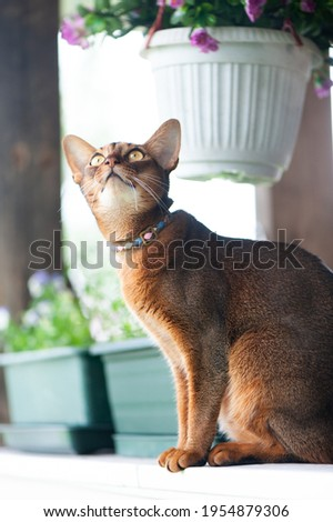 Abyssinian cat in collar, sitting on the terrace . High quality advertising stock photo. Pets walking in the summer