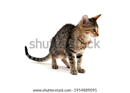 A purebred smooth-haired cat stands on a white background Royalty-Free Stock Photo #1954889095