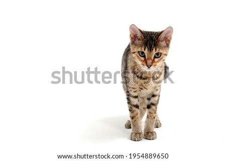 A purebred smooth-haired cat stands on a white background and looks at the camera Royalty-Free Stock Photo #1954889650