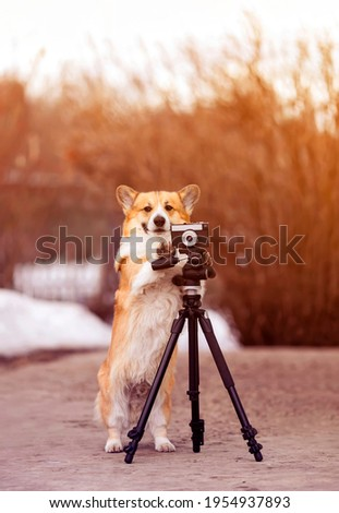 vertical portrait funny dog puppy corgi stands at a tripod in the garden and takes pictures on an old photo camera
