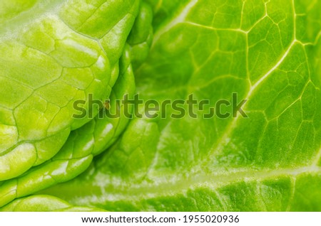 Plant louse on green lettuce leaf. Green aphid, sap-sucking on fresh Romaine lettuce leaf. Greenfly, insect of Aphidoidea family. Destructive, weakening insect pest, on cultivated plants. Macro photo.