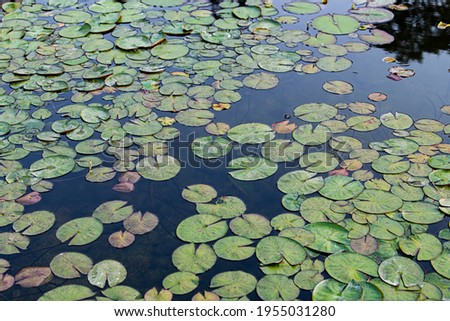 Lotus leaf close-up pictures on the water