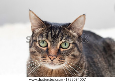 Portrait of large handsome and purebred cat. Big beautiful striped cats muzzle. Royalty-Free Stock Photo #1955094007