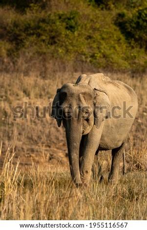 wild asian elephant or tusker walking head on in beautiful winter morning light at dhikala zone of jim corbett national park uttarakhand india - Elephas maximus indicus Royalty-Free Stock Photo #1955116567