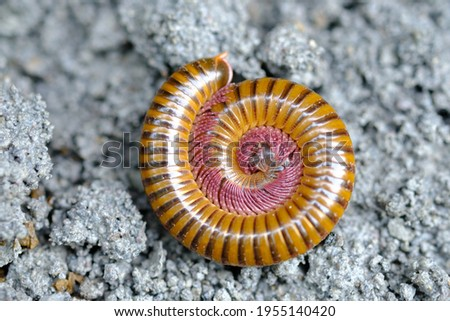 Millipedes is an arthropod that has two pairs of legs per segment. Millipedes are an order of invertebrates belonging to the phylum Arthropoda, class Myriapoda. Diplopoda. Circular form.  Royalty-Free Stock Photo #1955140420
