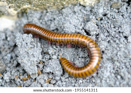 Creeping millipede, is an arthropod that has two pairs of legs per segment. Millipedes are an order of invertebrates belonging to the phylum Arthropoda, class Myriapoda. Diplopoda. Royalty-Free Stock Photo #1955141311