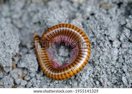 Creeping millipede, is an arthropod that has two pairs of legs per segment. Millipedes are an order of invertebrates belonging to the phylum Arthropoda, class Myriapoda. Diplopoda. Royalty-Free Stock Photo #1955141329