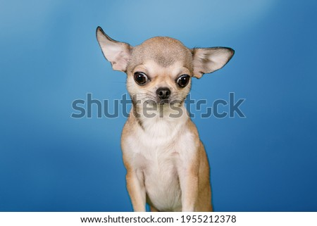 Six pictures on the theme of 5 emotions, such as denial, anger, bargaining, depression and acceptance. This is a humorous photo shoot of a Chihuahua puppy on the topic of psychology.