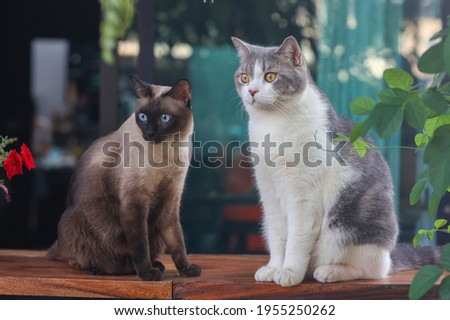 Scottish fold cat with Siamese cat sitting on wooden floor in the garden with green leaf. Cute cats looking something.