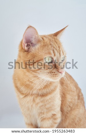 Cute domestic orange color cat sitting relaxing on gray background looking off the camera. Feline or home pets concept. High quality vertical photo