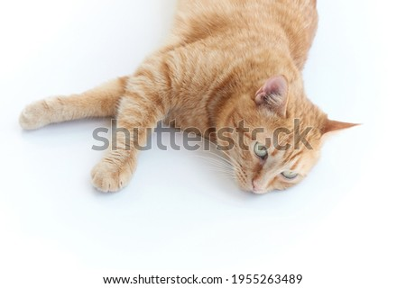 Beautiful young ginger cat. Adorable orange home pet. Cute red kitten with classic marble pattern isolated on white background lying down napping. High quality photo