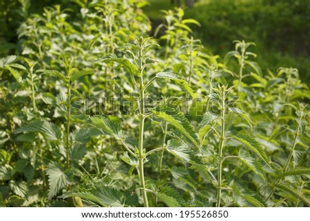 Nettle/Herbal plant in nature. Natural background. #195526850