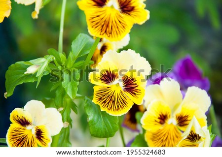 pansy flower closeup. nature macro photography. beautiful pansies. summer garden. spring blooming blossom.