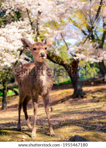 The picture of cherry blossoms and deer