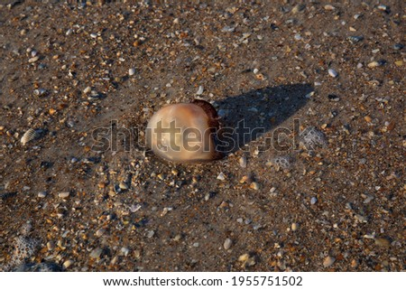 A jellyfish washed up on a shoreline.  Marine invertebrate laying on a bed of brown sand and crushed seashells.   Royalty-Free Stock Photo #1955751502