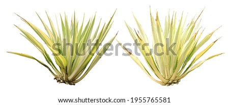 Two agave plant isolated on white background.This has clipping path. Royalty-Free Stock Photo #1955765581