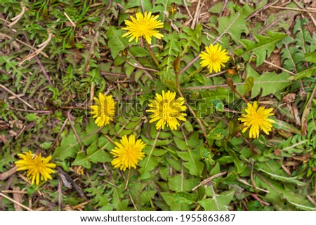Dandelions in the grass. Yellow dandelion flowers. Green leaves of dandelions. Green grass. Close-up. Spring mood. Spring green.