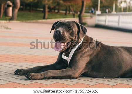 A purebred black dark brown dog with a medal lies in the park with his tongue hanging out. A friendly pet Royalty-Free Stock Photo #1955924326