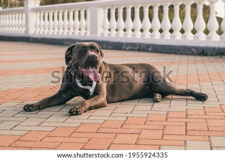A purebred black dark brown dog with a medal lies in the park with his tongue hanging out. A friendly pet Royalty-Free Stock Photo #1955924335