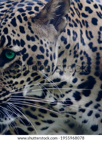 This is a picture of leopard.