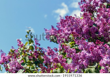 Spring blooming flowers of lilac on lilac bushes against the blue sky. Natural background blooming lilac flowers outside Royalty-Free Stock Photo #1955971336
