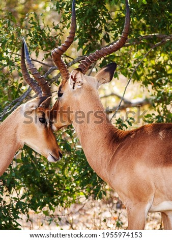 This is a picture of two deer.