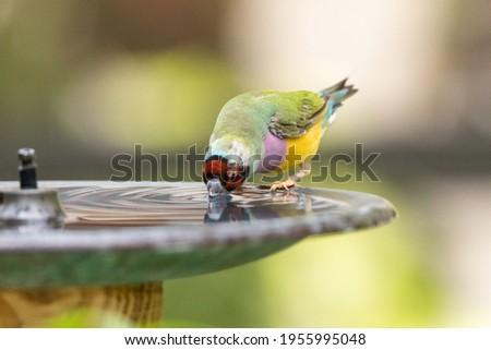 Lady Gouldian Finch bird Erythrura gouldiae in a water fountain bird bath in Australia Royalty-Free Stock Photo #1955995048