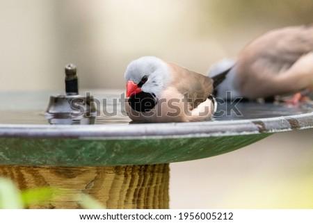 Bathing in a bird bath, a Long tailed finch bird Poephila acuticauda cools off in Australia. Royalty-Free Stock Photo #1956005212