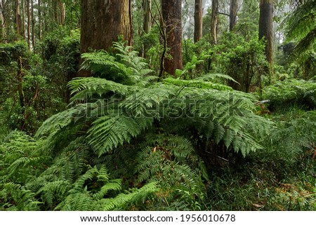 """The tree ferns are the ferns that grow with a trunk elevating the fronds above ground level. Most tree ferns are members of the """"core tree ferns"""", belonging to the families Dicksoniaceae, Metaxyaceae, Royalty-Free Stock Photo #1956010678"""