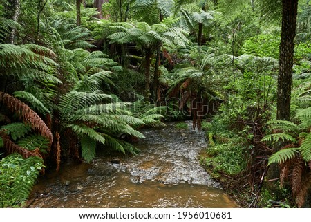 """The tree ferns are the ferns that grow with a trunk elevating the fronds above ground level. Most tree ferns are members of the """"core tree ferns"""", belonging to the families Dicksoniaceae, Metaxyaceae, Royalty-Free Stock Photo #1956010681"""