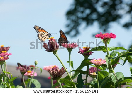 Monarch Butterfly pair feeding on Zinnia Flowers photographed near Cedar Falls, USA. Royalty-Free Stock Photo #1956169141