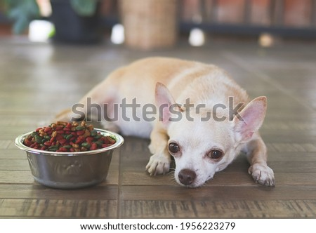 Portrait of Sad or sick Chihuahua dog  get bored of food. Chihuahua dog laying down by the bowl of dog food and ignoring it. Pet's health and behavior concept. Royalty-Free Stock Photo #1956223279