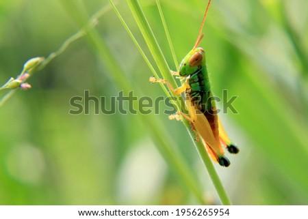 Grasshopper photo stock on High resolution